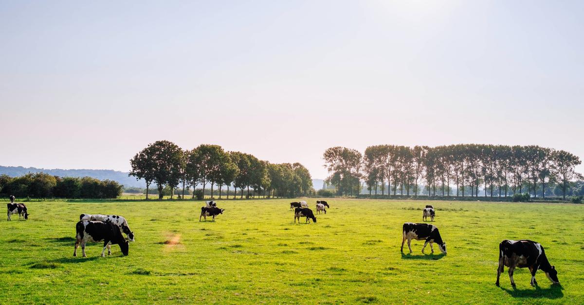 Kor betar på grön äng